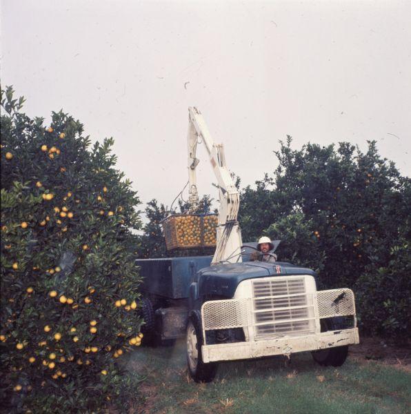 1977 blue International Harvester Loadstar with lift gear in a Florida orange grove